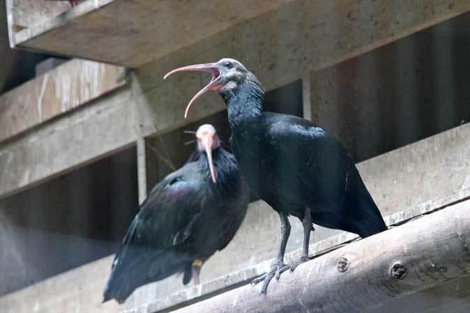 トキ舎の幼鳥たち~インカアジサシは雨に鳴く(多摩動物公園 July 2019)_b0355317_21562292.jpg