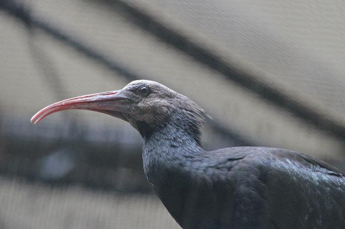 トキ舎の幼鳥たち~インカアジサシは雨に鳴く(多摩動物公園 July 2019)_b0355317_22000362.jpg