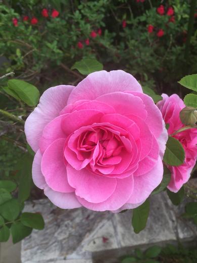 庭のバラ_d0286255_20570603.jpg