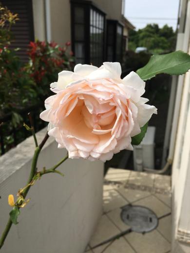庭のバラ_d0286255_21330513.jpg