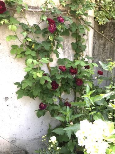 E・Iさんの壁を彩るバラたち_a0094959_23543371.jpg