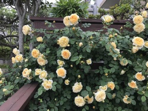 E・Iさんの壁を彩るバラたち_a0094959_23580622.jpg