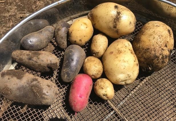 ジャガイモ試し掘り&トマトにピンポン大の実5・17_c0014967_06405026.jpg