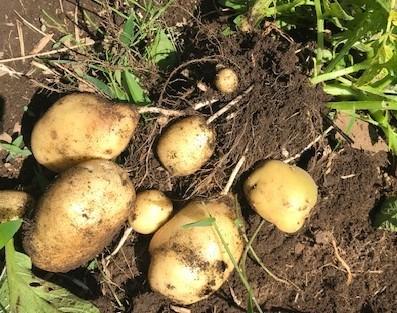 ジャガイモ試し掘り&トマトにピンポン大の実5・17_c0014967_06411355.jpg