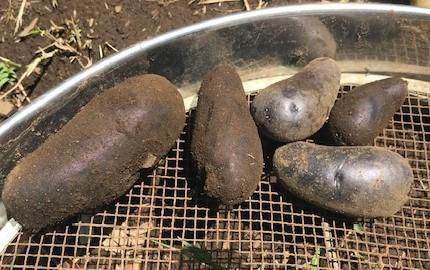 ジャガイモ試し掘り&トマトにピンポン大の実5・17_c0014967_06413043.jpg