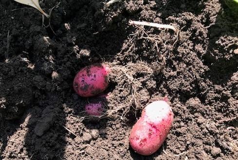 ジャガイモ試し掘り&トマトにピンポン大の実5・17_c0014967_06414550.jpg