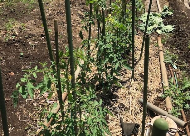 ジャガイモ試し掘り&トマトにピンポン大の実5・17_c0014967_06444753.jpg