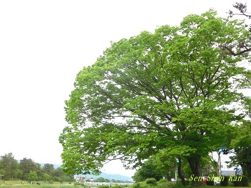 緑の賀茂川  _a0164068_22085694.jpg