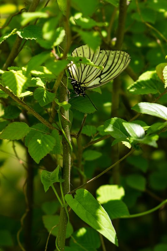 珍しい蝶に出会った_a0261169_23482538.jpg