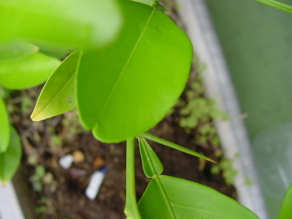 こりゃあ・・柚子だな? 謎の植物 Part3_f0134369_15340494.jpg