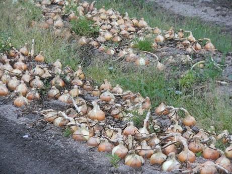 新玉ねぎの収穫_e0175370_23252606.jpg