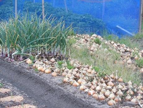 新玉ねぎの収穫_e0175370_23253717.jpg