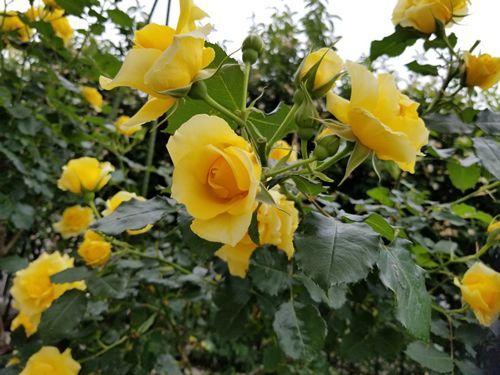 バラが真っ盛り_c0056473_16353766.jpg