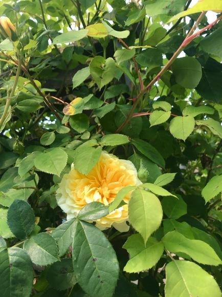 庭の季節となりました_d0129786_14505727.jpg
