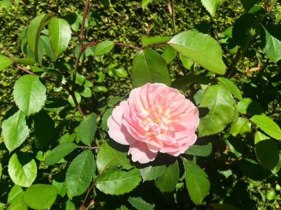 庭の季節となりました_d0129786_15085716.jpg
