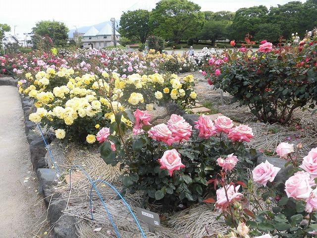 例年なら多くの人で賑わうはずが…満開のバラが切ない! 朝の散歩「中央公園コース」_f0141310_07404032.jpg