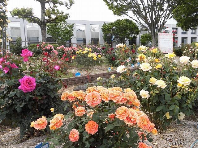 例年なら多くの人で賑わうはずが…満開のバラが切ない! 朝の散歩「中央公園コース」_f0141310_07404607.jpg