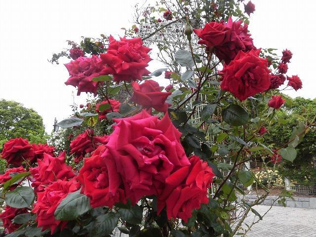 例年なら多くの人で賑わうはずが…満開のバラが切ない! 朝の散歩「中央公園コース」_f0141310_07405200.jpg