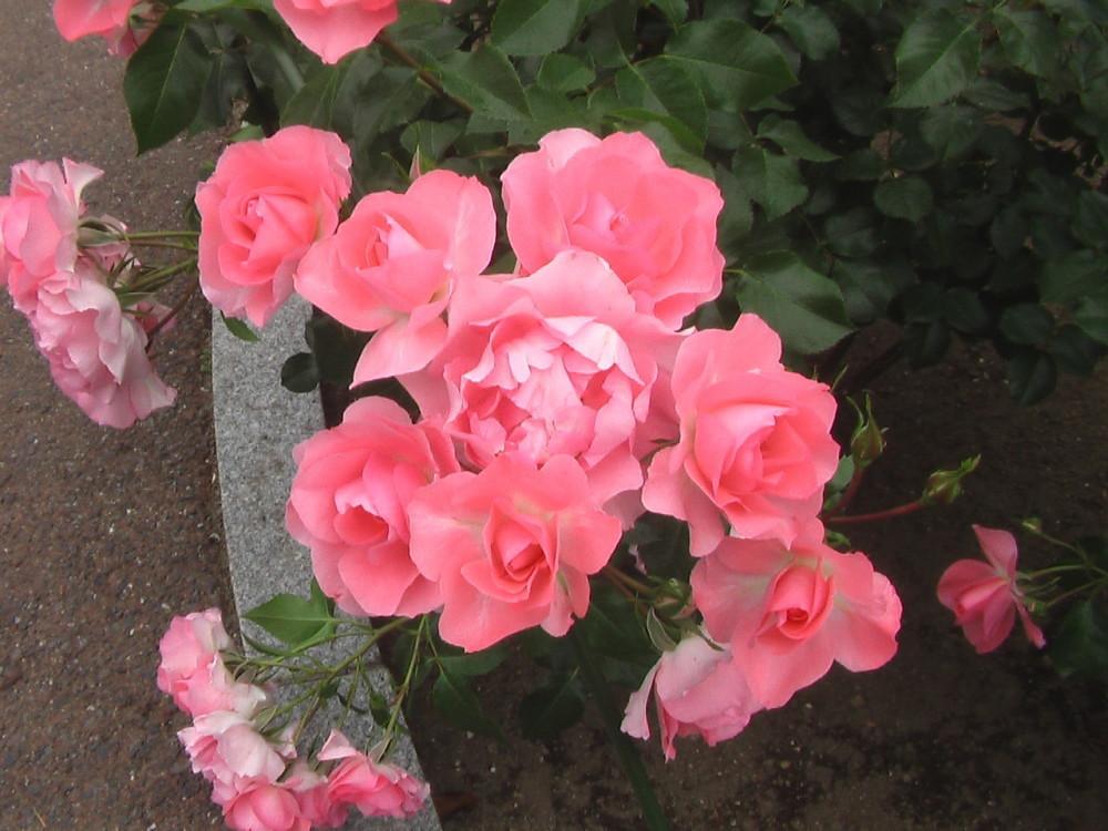バラ園が休み、ガッカリ_c0335218_08354101.jpg