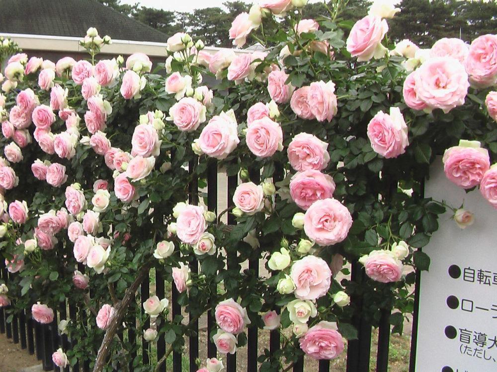 バラ園が休み、ガッカリ_c0335218_08361987.jpg