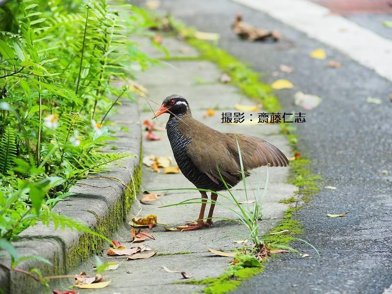 やんばるの鳥たち_f0121321_15535318.jpg