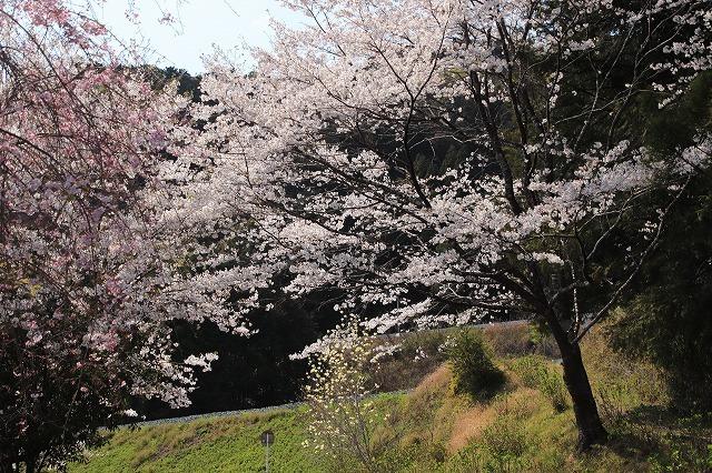 馬瀬・船津の桜散策(撮影:4月8日)_e0321325_11172547.jpg