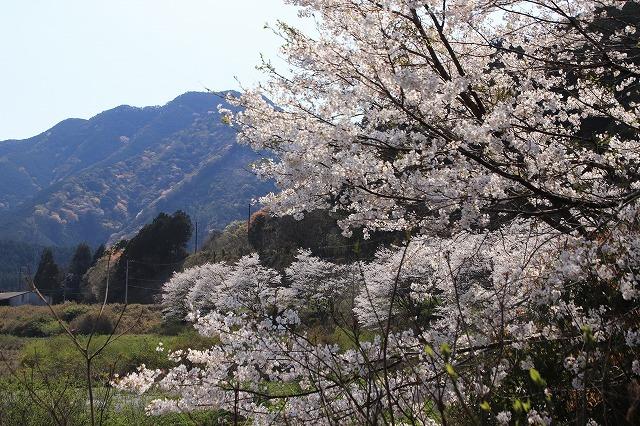 馬瀬・船津の桜散策(撮影:4月8日)_e0321325_11174468.jpg