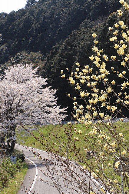 馬瀬・船津の桜散策(撮影:4月8日)_e0321325_11181759.jpg