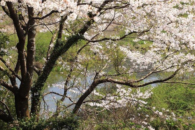 馬瀬・船津の桜散策(撮影:4月8日)_e0321325_16194503.jpg