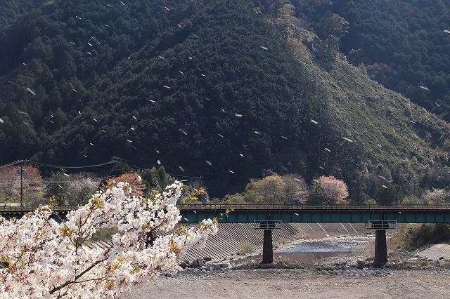 馬瀬・船津の桜散策(撮影:4月8日)_e0321325_16202519.jpg