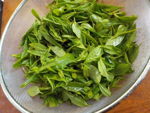 Canada産の日本茶収穫_a0173527_10363762.jpg