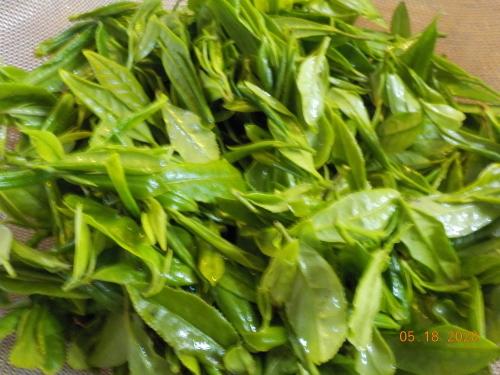 Canada産の日本茶収穫_a0173527_10382913.jpg