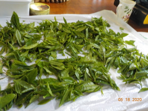 Canada産の日本茶収穫_a0173527_10391951.jpg