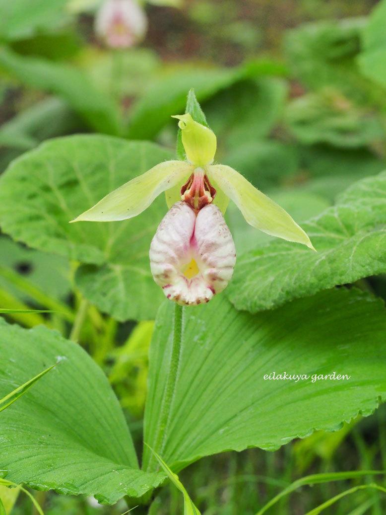 """自然の中で生きてこそ輝く花  \"""" クマガイソウ \""""_b0133243_22465150.jpg"""