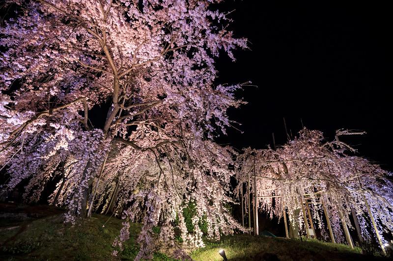2020桜咲く京都 宇治市植物公園ライトアップ_f0155048_0213678.jpg