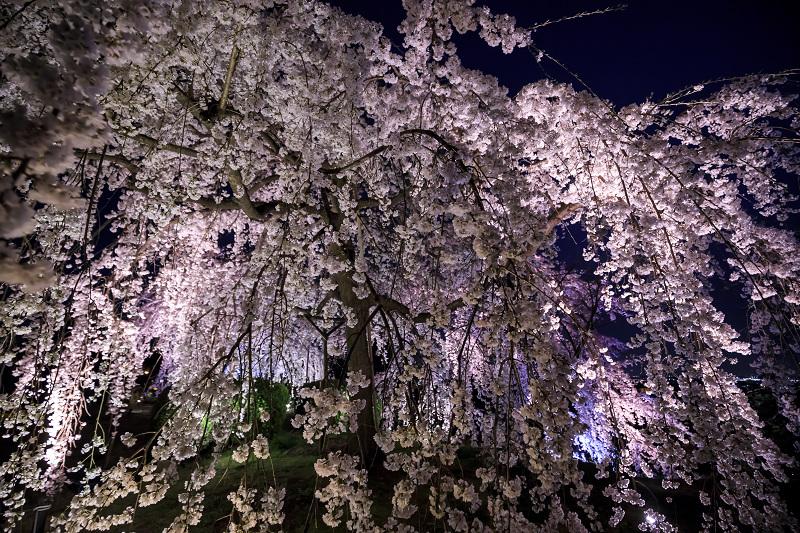 2020桜咲く京都 宇治市植物公園ライトアップ_f0155048_021411.jpg