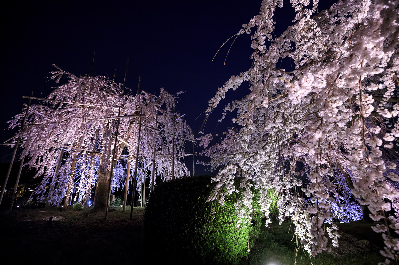 2020桜咲く京都 宇治市植物公園ライトアップ_f0155048_0215034.jpg