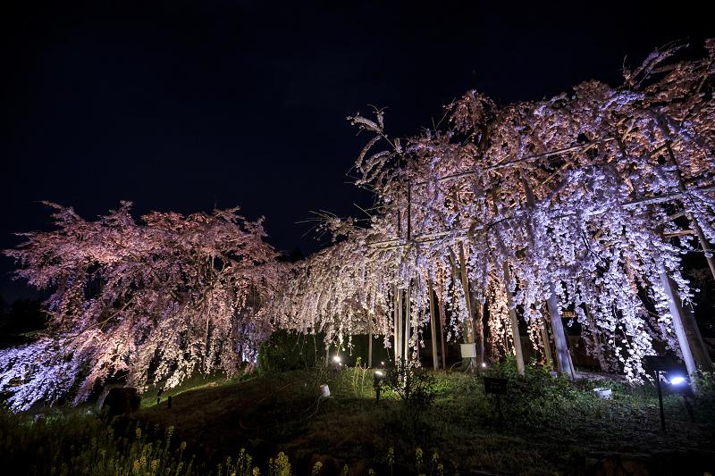 2020桜咲く京都 宇治市植物公園ライトアップ_f0155048_0221433.jpg