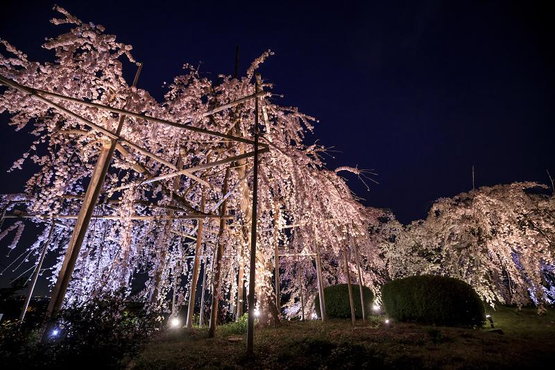 2020桜咲く京都 宇治市植物公園ライトアップ_f0155048_022278.jpg