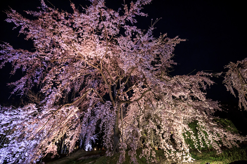 2020桜咲く京都 宇治市植物公園ライトアップ_f0155048_0222934.jpg