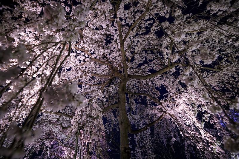 2020桜咲く京都 宇治市植物公園ライトアップ_f0155048_0223226.jpg