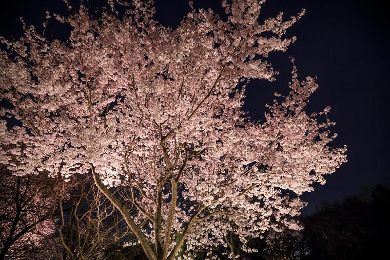 2020桜咲く京都 宇治市植物公園ライトアップ_f0155048_0225394.jpg