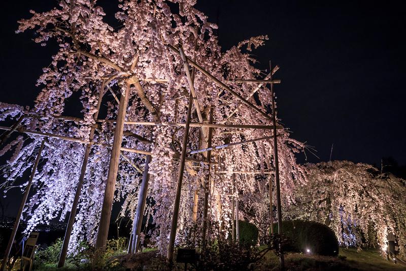 2020桜咲く京都 宇治市植物公園ライトアップ_f0155048_0231889.jpg