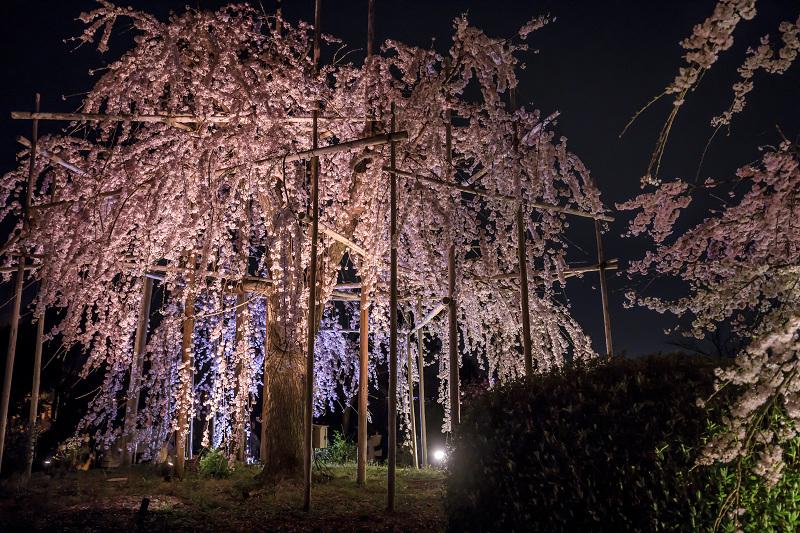 2020桜咲く京都 宇治市植物公園ライトアップ_f0155048_0232444.jpg