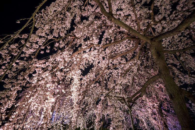 2020桜咲く京都 宇治市植物公園ライトアップ_f0155048_0233387.jpg
