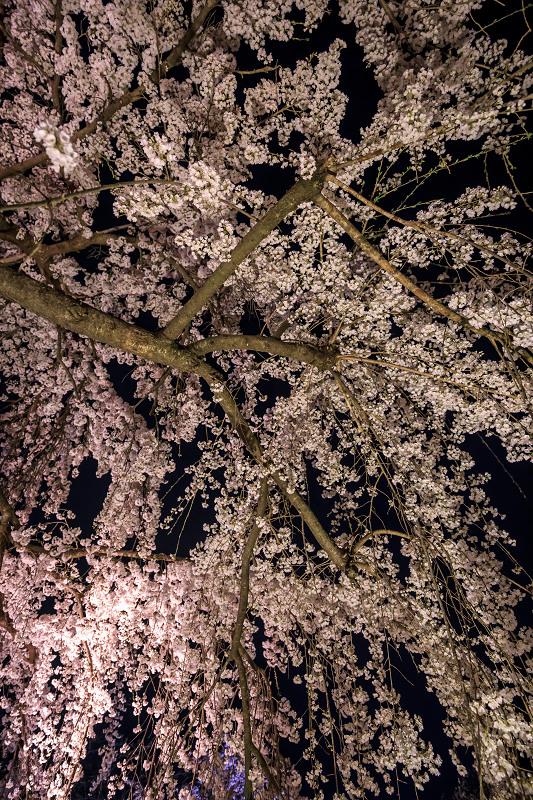 2020桜咲く京都 宇治市植物公園ライトアップ_f0155048_0234638.jpg