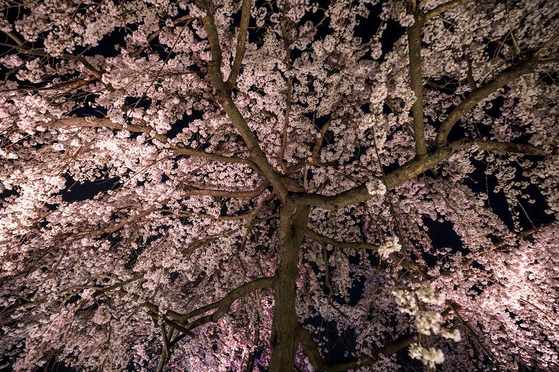 2020桜咲く京都 宇治市植物公園ライトアップ_f0155048_0241321.jpg