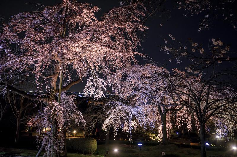 2020桜咲く京都 宇治市植物公園ライトアップ_f0155048_0242291.jpg