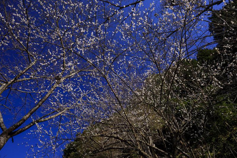 梅咲く宇治田原の光景(遍照院・正壽院)_f0155048_21235823.jpg