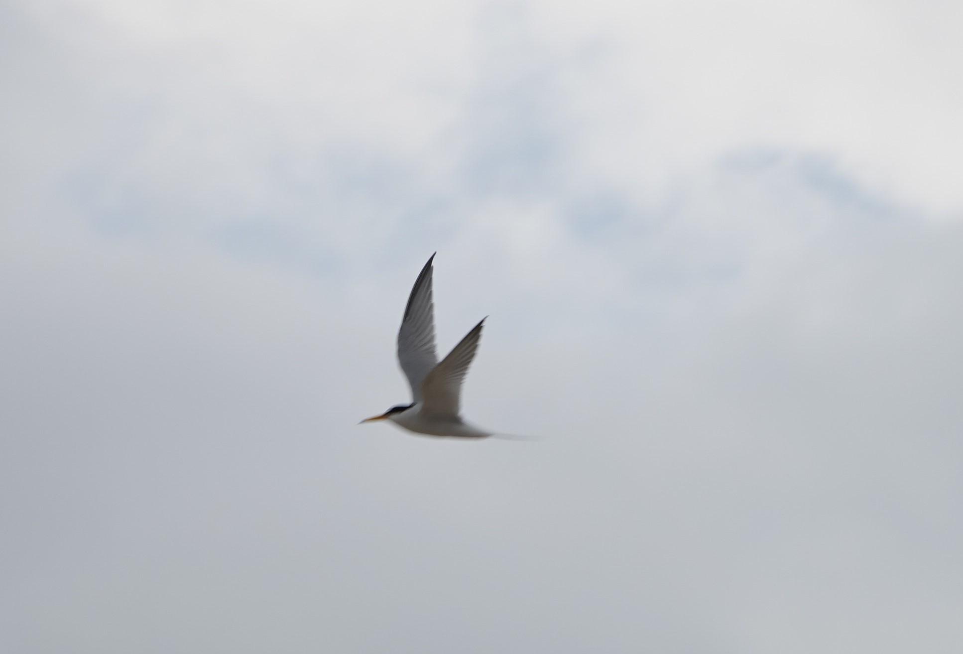 野鳥トレ 209 コアジサシ_b0227552_19415333.jpg